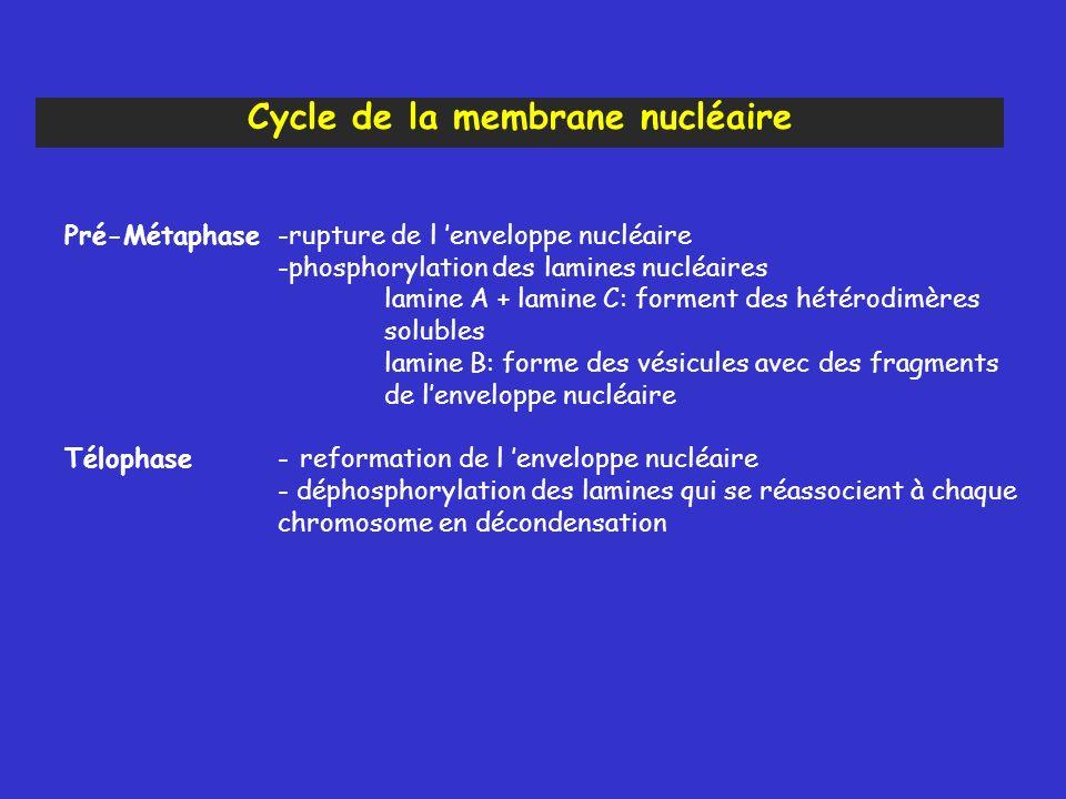 Pré-Métaphase-rupture de l enveloppe nucléaire -phosphorylation des lamines nucléaires lamine A + lamine C: forment des hétérodimères solubles lamine B: forme des vésicules avec des fragments de lenveloppe nucléaire Télophase- reformation de l enveloppe nucléaire - déphosphorylation des lamines qui se réassocient à chaque chromosome en décondensation Cycle de la membrane nucléaire