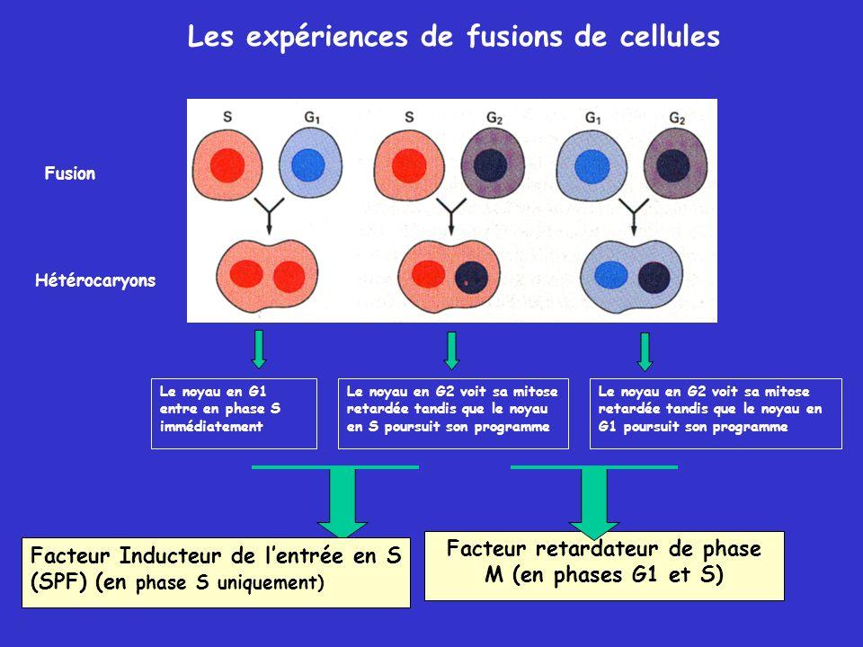 Facteur retardateur de phase M (en phases G1 et S) Les expériences de fusions de cellules Hétérocaryons Le noyau en G2 voit sa mitose retardée tandis que le noyau en S poursuit son programme Le noyau en G2 voit sa mitose retardée tandis que le noyau en G1 poursuit son programme Le noyau en G1 entre en phase S immédiatement Facteur Inducteur de lentrée en S (SPF) (en phase S uniquement) Fusion
