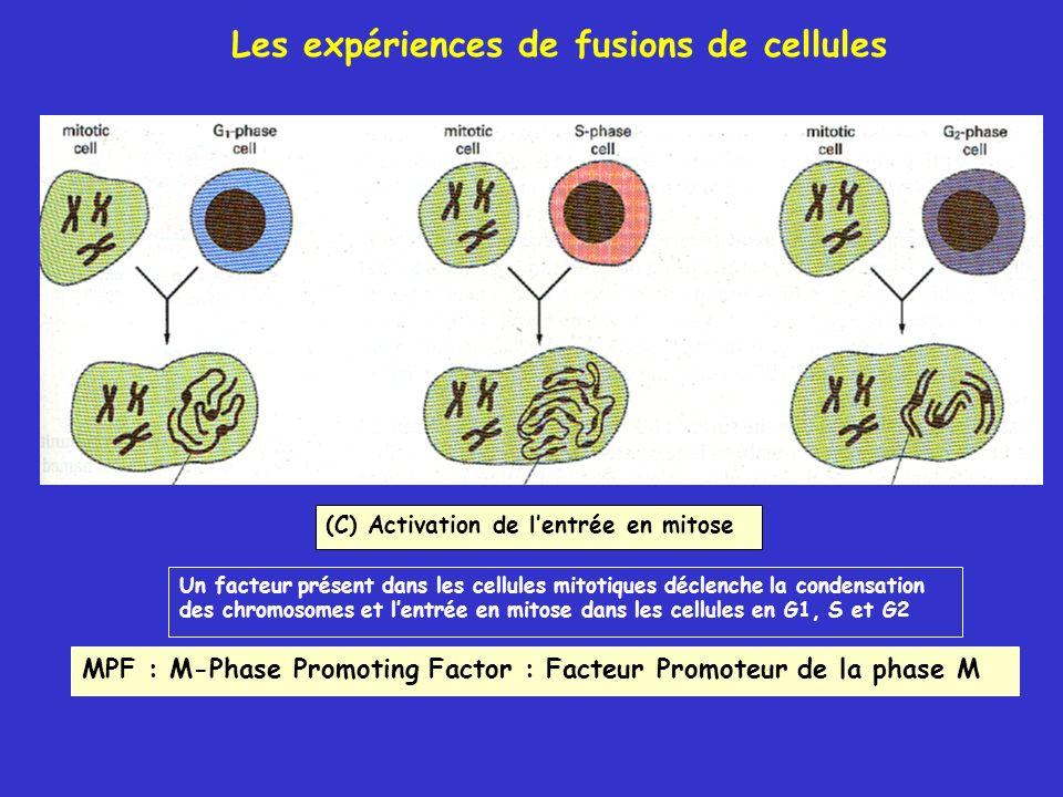 (C) Activation de lentrée en mitose Un facteur présent dans les cellules mitotiques déclenche la condensation des chromosomes et lentrée en mitose dan