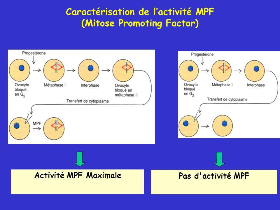 Activité MPF Maximale Pas d activité MPF Caractérisation de lactivité MPF (Mitose Promoting Factor)