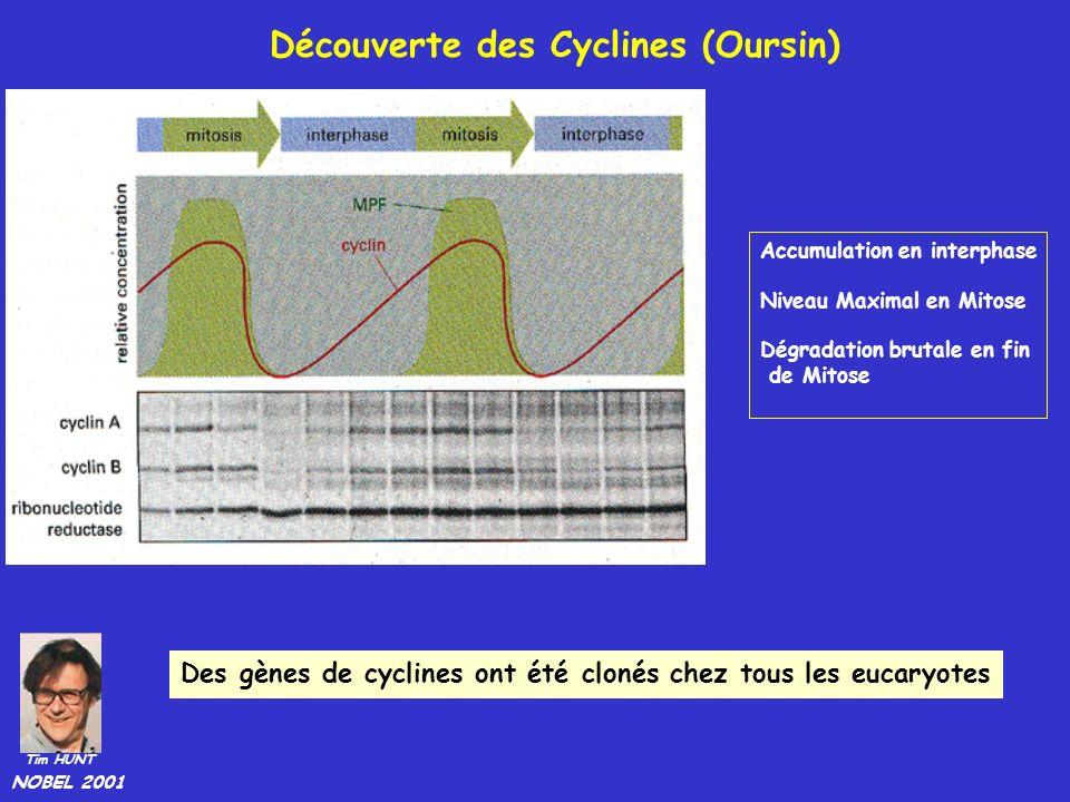 Accumulation en interphase Niveau Maximal en Mitose Dégradation brutale en fin de Mitose Des gènes de cyclines ont été clonés chez tous les eucaryotes Tim HUNT NOBEL 2001 Découverte des Cyclines (Oursin)