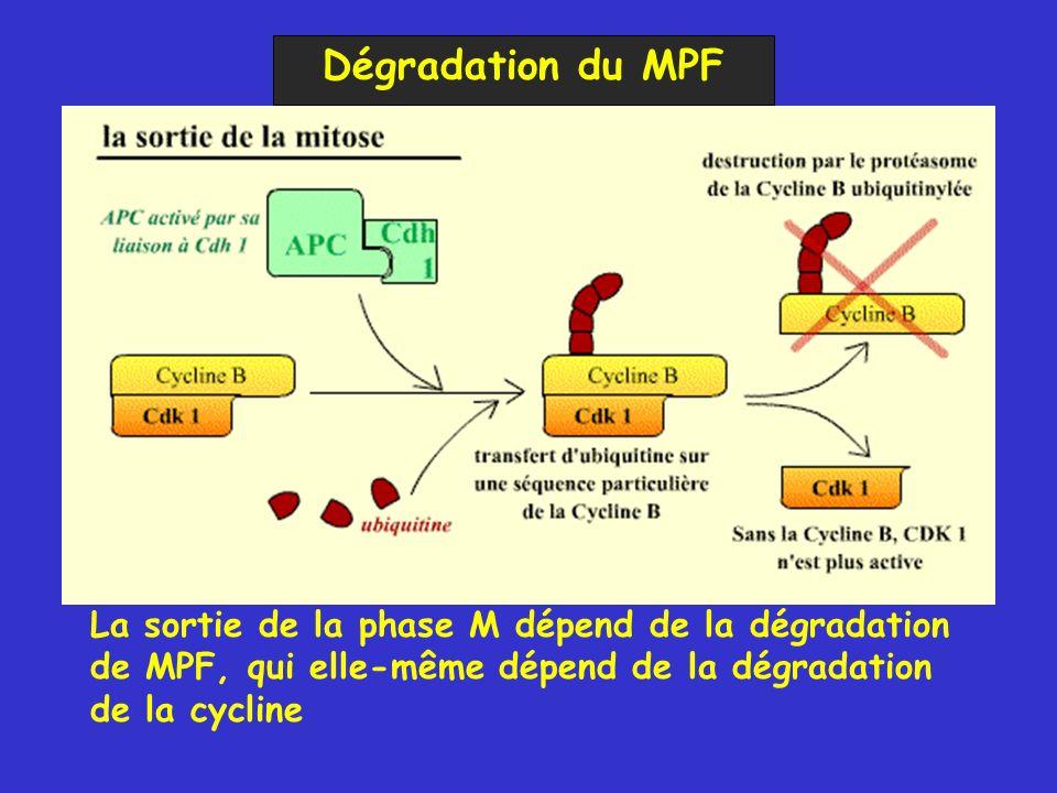 Dégradation du MPF La sortie de la phase M dépend de la dégradation de MPF, qui elle-même dépend de la dégradation de la cycline