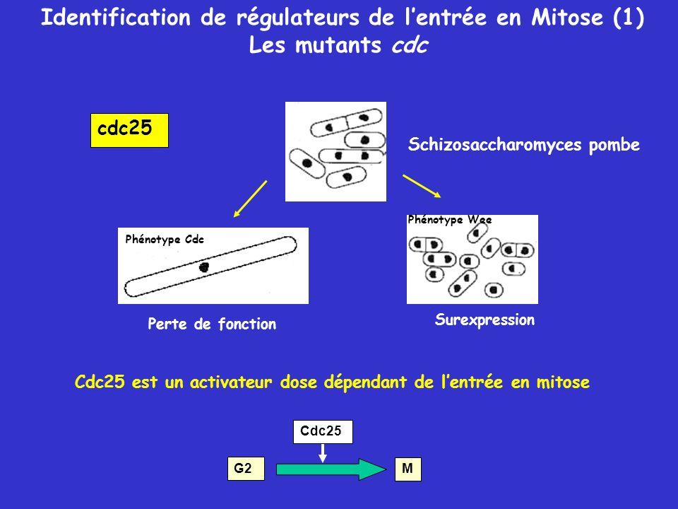 Identification de régulateurs de lentrée en Mitose (1) Les mutants cdc Surexpression Perte de fonction Phénotype Cdc Cdc25 est un activateur dose dépendant de lentrée en mitose G2 M Cdc25 Phénotype Wee Schizosaccharomyces pombe cdc25