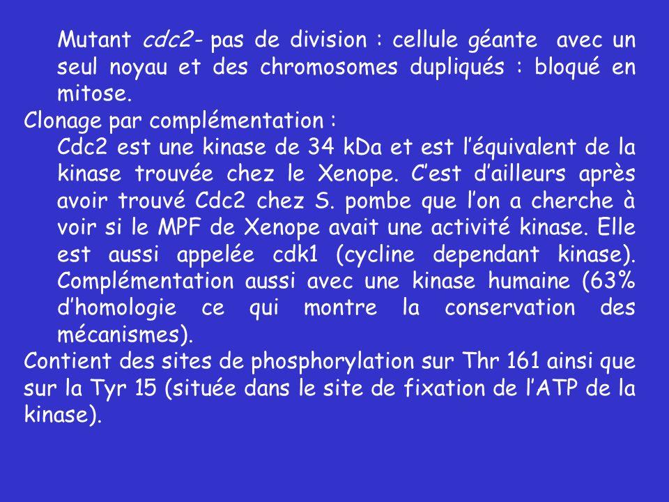 Mutant cdc2- pas de division : cellule géante avec un seul noyau et des chromosomes dupliqués : bloqué en mitose. Clonage par complémentation : Cdc2 e