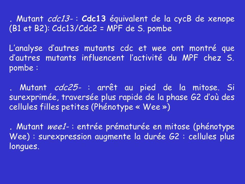 . Mutant cdc13- : Cdc13 équivalent de la cycB de xenope (B1 et B2): Cdc13/Cdc2 = MPF de S. pombe Lanalyse dautres mutants cdc et wee ont montré que da