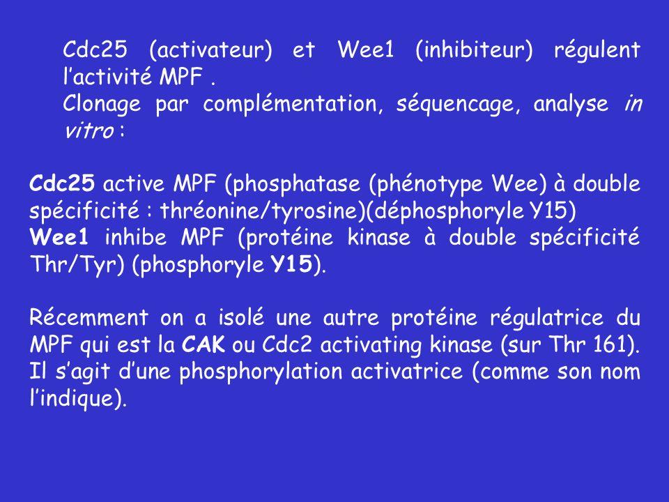 Cdc25 (activateur) et Wee1 (inhibiteur) régulent lactivité MPF. Clonage par complémentation, séquencage, analyse in vitro : Cdc25 active MPF (phosphat