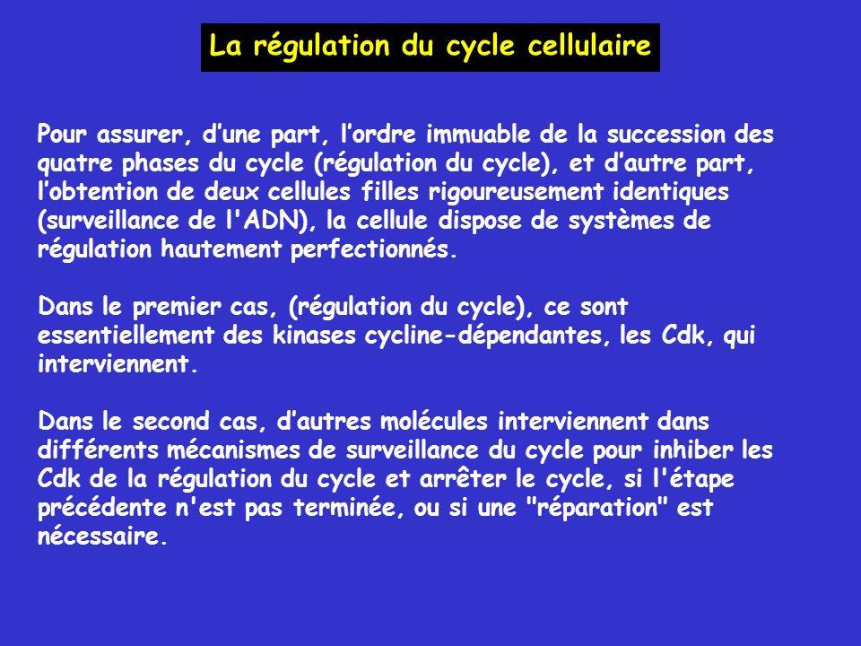 Pour assurer, dune part, lordre immuable de la succession des quatre phases du cycle (régulation du cycle), et dautre part, lobtention de deux cellules filles rigoureusement identiques (surveillance de l ADN), la cellule dispose de systèmes de régulation hautement perfectionnés.