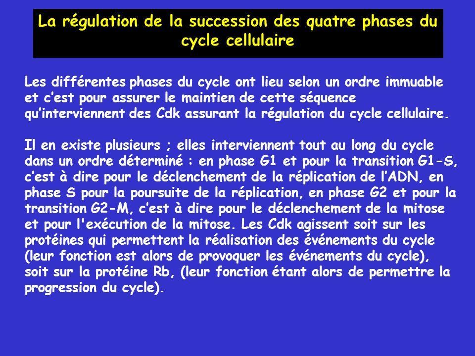 Les différentes phases du cycle ont lieu selon un ordre immuable et cest pour assurer le maintien de cette séquence quinterviennent des Cdk assurant la régulation du cycle cellulaire.