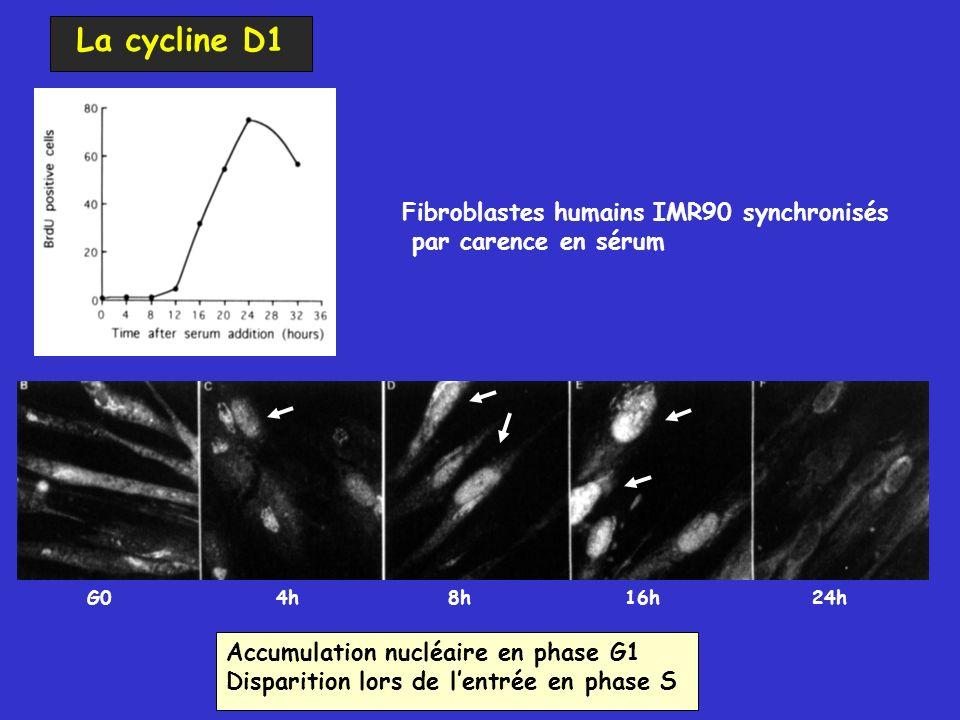 Accumulation nucléaire en phase G1 Disparition lors de lentrée en phase S G04h8h16h24h Fibroblastes humains IMR90 synchronisés par carence en sérum La