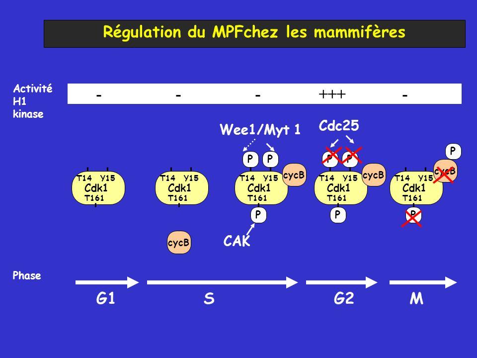 Régulation du MPFchez les mammifères cycB Cdk1 T14Y15 T161 Cdk1 T14Y15 T161 Cdk1 T14Y15 T161 Cdk1 T14Y15 T161 Cdk1 T14Y15 T161 PP PP PP P Cdc25 CAK We
