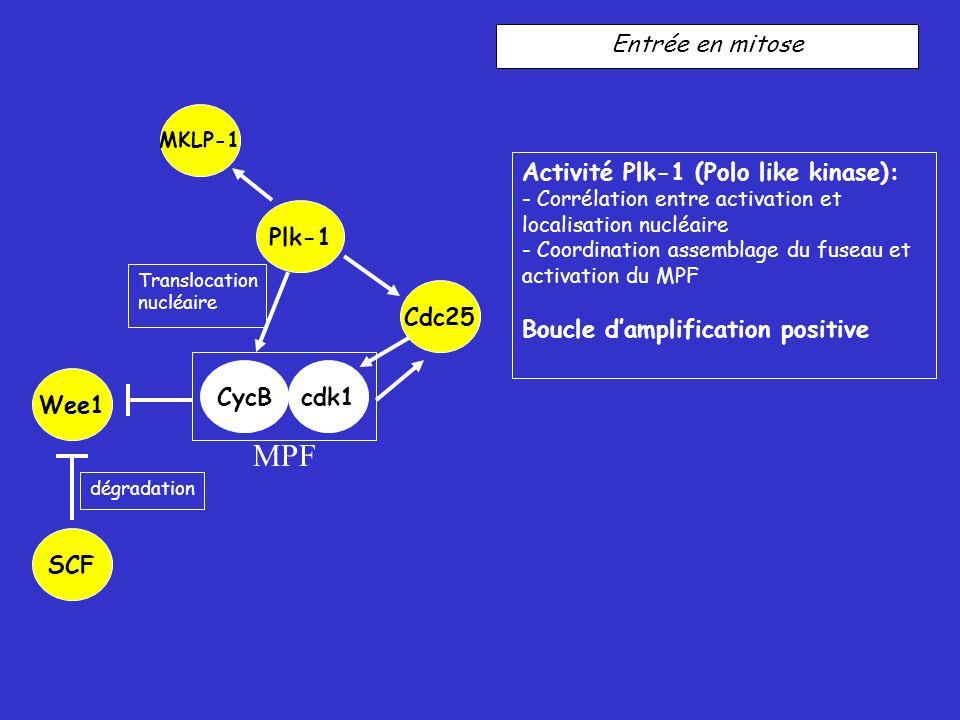 Entrée en mitose Activité Plk-1 (Polo like kinase): - Corrélation entre activation et localisation nucléaire - Coordination assemblage du fuseau et activation du MPF Boucle damplification positive Plk-1 Cdc25 Translocation nucléaire dégradation CycBcdk1 Wee1 MKLP-1 SCF MPF