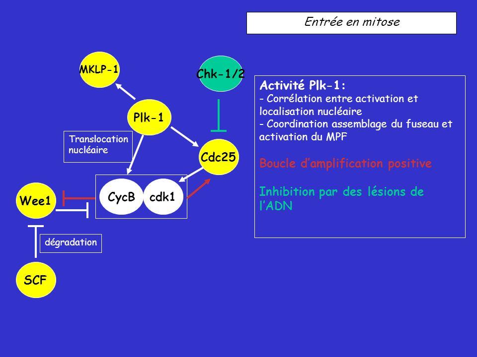 Entrée en mitose Activité Plk-1: - Corrélation entre activation et localisation nucléaire - Coordination assemblage du fuseau et activation du MPF Boucle damplification positive Inhibition par des lésions de lADN Plk-1 Cdc25 Translocation nucléaire dégradation CycBcdk1 Wee1 MKLP-1 SCF Chk-1/2