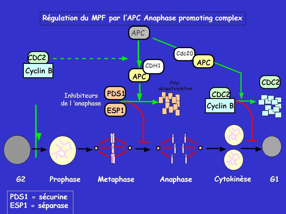 Régulation du MPF par lAPC Anaphase promoting complex G2ProphaseMetaphase Anaphase Cytokinèse G1 CDC2 Cyclin B APC PDS1 ESP1 PDS1 = sécurine ESP1 = séparase Inhibiteurs de l anaphase Poly- ubiquitinylation CDH1 Cdc20 APC