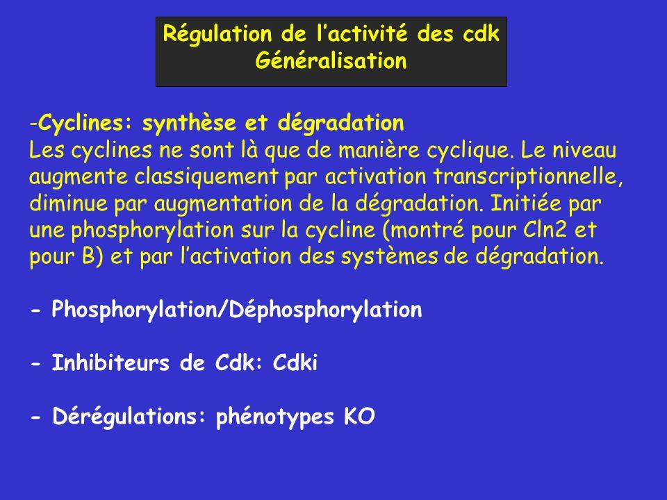 Régulation de lactivité des cdk Généralisation -Cyclines: synthèse et dégradation Les cyclines ne sont là que de manière cyclique. Le niveau augmente