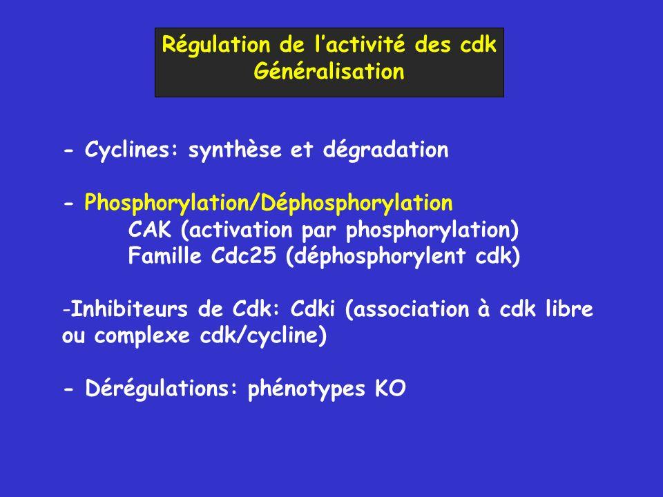 Régulation de lactivité des cdk Généralisation - Cyclines: synthèse et dégradation - Phosphorylation/Déphosphorylation CAK (activation par phosphorylation) Famille Cdc25 (déphosphorylent cdk) -Inhibiteurs de Cdk: Cdki (association à cdk libre ou complexe cdk/cycline) - Dérégulations: phénotypes KO