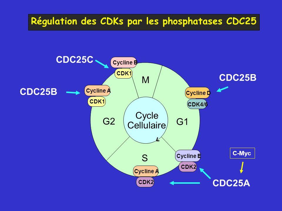 M G2 G1 S Cycle Cellulaire CDK4/6 Cycline D CDK1 Cycline B CDK1 Cycline A CDK2 Cycline A CDK2 Cycline E CDC25A CDC25C CDC25B C-Myc Régulation des CDKs par les phosphatases CDC25 CDC25B