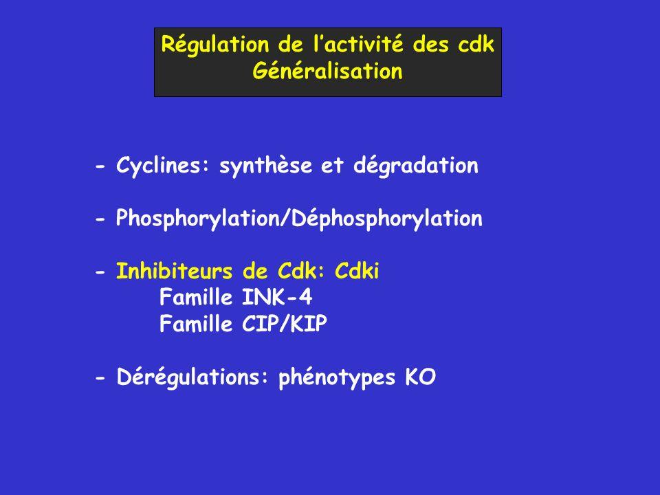 Régulation de lactivité des cdk Généralisation - Cyclines: synthèse et dégradation - Phosphorylation/Déphosphorylation - Inhibiteurs de Cdk: Cdki Famille INK-4 Famille CIP/KIP - Dérégulations: phénotypes KO