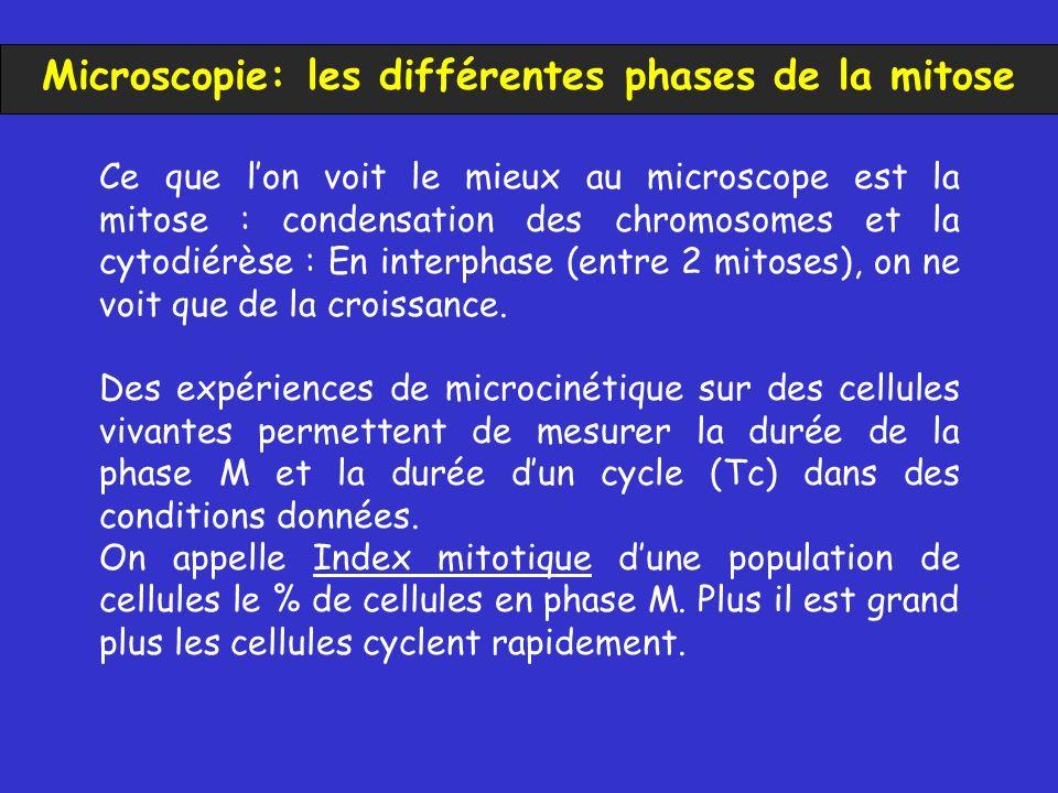 Ce que lon voit le mieux au microscope est la mitose : condensation des chromosomes et la cytodiérèse : En interphase (entre 2 mitoses), on ne voit que de la croissance.