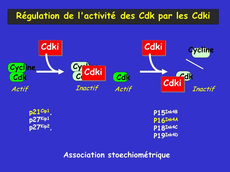 Régulation de l activité des Cdk par les Cdki Cdk Cycline Cdk Cycline Cdki Actif Inactif Cdki p21 Cip1, p27 Kip1 p27 Kip2, Cdk Cycline Cdki Actif Inactif Cdki P15 Ink4B P16 Ink4A P18 Ink4C P19 Ink4D Association stoechiométrique