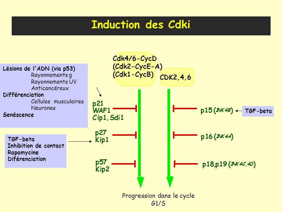 p21 WAF1 Cip1, Sdi1 p27 Kip1 CDK2,4,6 p15 ( INK4B ) p16 ( INK4A ) p18,p19 ( INK4C,4D ) p57 Kip2 Induction des Cdki Lésions de l'ADN (via p53) Rayonnem