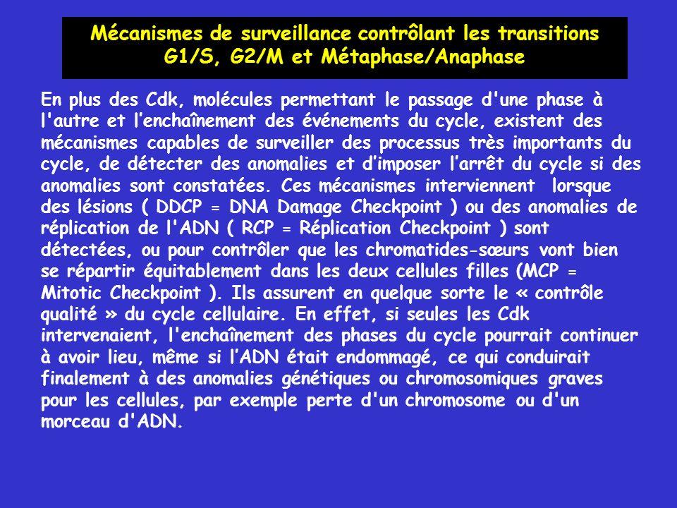 Mécanismes de surveillance contrôlant les transitions G1/S, G2/M et Métaphase/Anaphase En plus des Cdk, molécules permettant le passage d une phase à l autre et lenchaînement des événements du cycle, existent des mécanismes capables de surveiller des processus très importants du cycle, de détecter des anomalies et dimposer larrêt du cycle si des anomalies sont constatées.