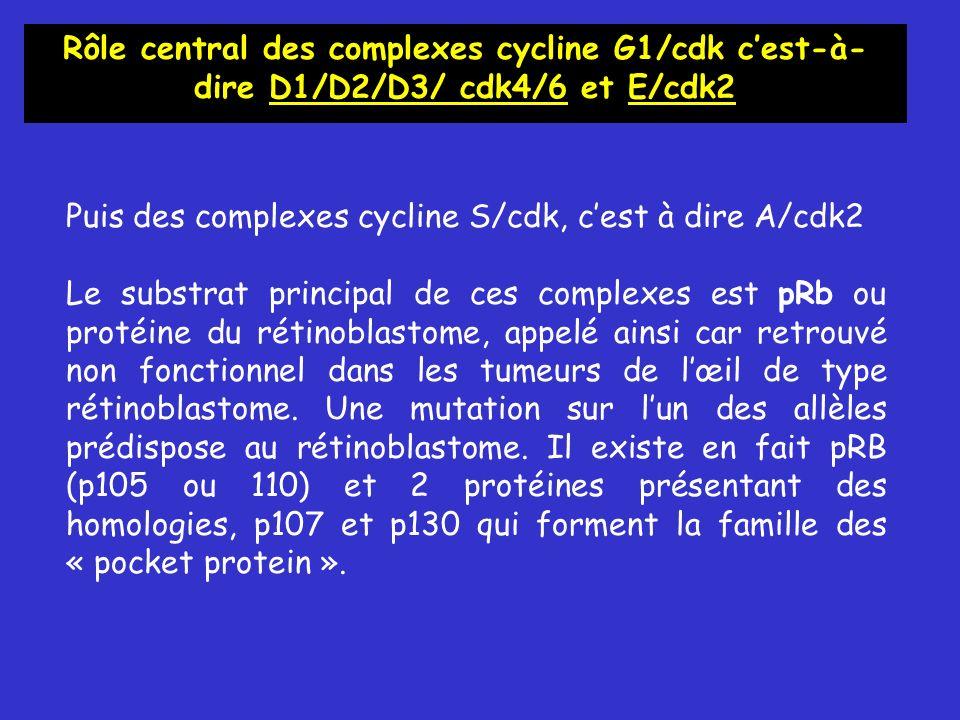 Puis des complexes cycline S/cdk, cest à dire A/cdk2 Le substrat principal de ces complexes est pRb ou protéine du rétinoblastome, appelé ainsi car retrouvé non fonctionnel dans les tumeurs de lœil de type rétinoblastome.