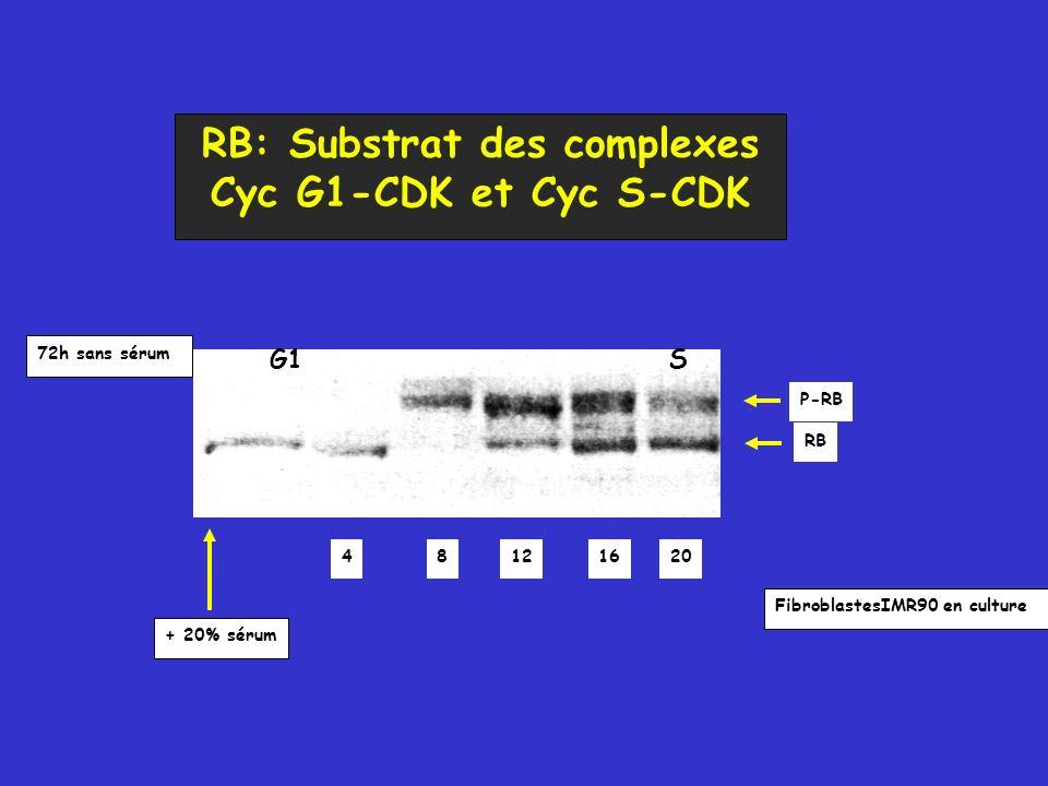 FibroblastesIMR90 en culture 72h sans sérum + 20% sérum 48121620 G1S P-RB RB RB: Substrat des complexes Cyc G1-CDK et Cyc S-CDK