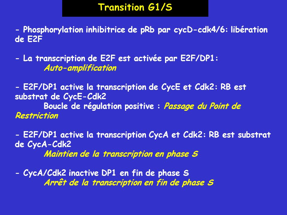 - Phosphorylation inhibitrice de pRb par cycD-cdk4/6: libération de E2F - La transcription de E2F est activée par E2F/DP1: Auto-amplification - E2F/DP1 active la transcription de CycE et Cdk2: RB est substrat de CycE-Cdk2 Boucle de régulation positive : Passage du Point de Restriction - E2F/DP1 active la transcription CycA et Cdk2: RB est substrat de CycA-Cdk2 Maintien de la transcription en phase S - CycA/Cdk2 inactive DP1 en fin de phase S Arrêt de la transcription en fin de phase S Transition G1/S
