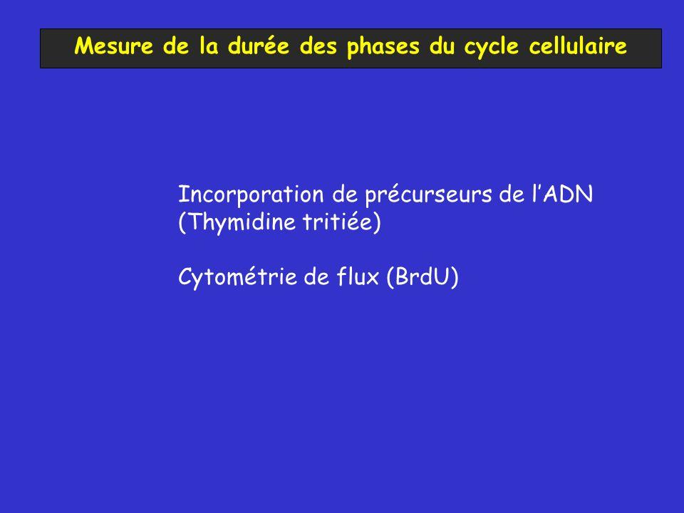 Mesure de la durée des phases du cycle cellulaire Incorporation de précurseurs de lADN (Thymidine tritiée) Cytométrie de flux (BrdU)