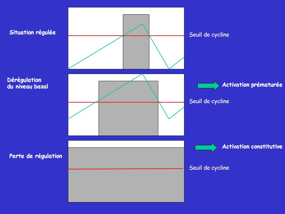 Seuil de cycline Situation régulée Dérégulation du niveau basal Perte de régulation Activation prématurée Activation constitutive