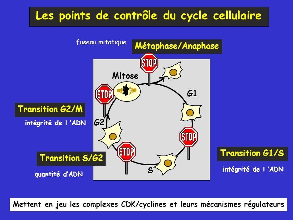 Les points de contrôle du cycle cellulaire Transition G1/S Transition G2/M Mettent en jeu les complexes CDK/cyclines et leurs mécanismes régulateurs Métaphase/Anaphase Mitose G1 S G2 Transition S/G2 quantité dADN intégrité de l ADN fuseau mitotique