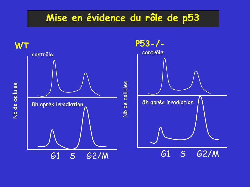 Mise en évidence du rôle de p53 G1 SG2/M contrôle8h après irradiation Nb de cellules G1 SG2/M contrôle 8h après irradiation Nb de cellules WT P53-/-