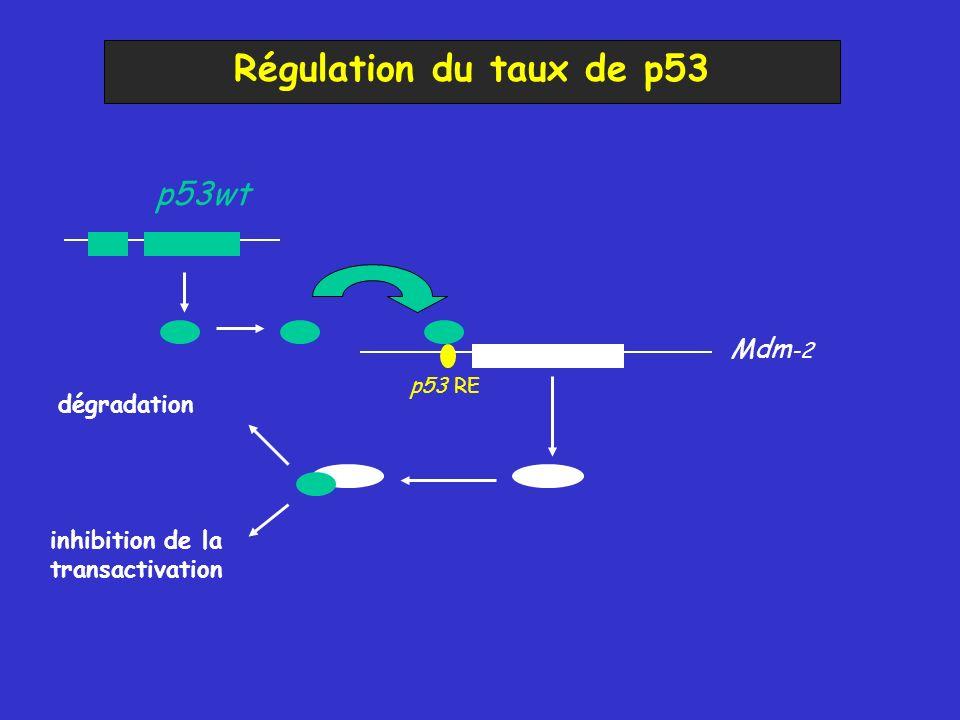 Régulation du taux de p53 Mdm -2 p53wt dégradation inhibition de la transactivation p53 RE