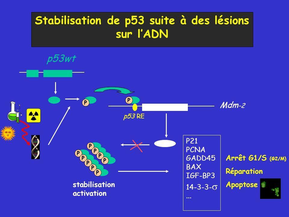 Stabilisation de p53 suite à des lésions sur lADN Mdm -2 p53wt p53 RE P P PPPPPPPPP stabilisation activation P21 PCNA GADD45 BAX IGF-BP3 14-3-3-... Ré