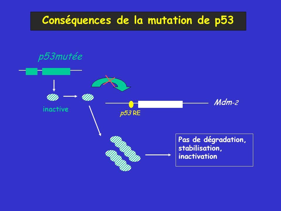 Conséquences de la mutation de p53 p53mutée Mdm -2 inactive Pas de dégradation, stabilisation, inactivation p53 RE