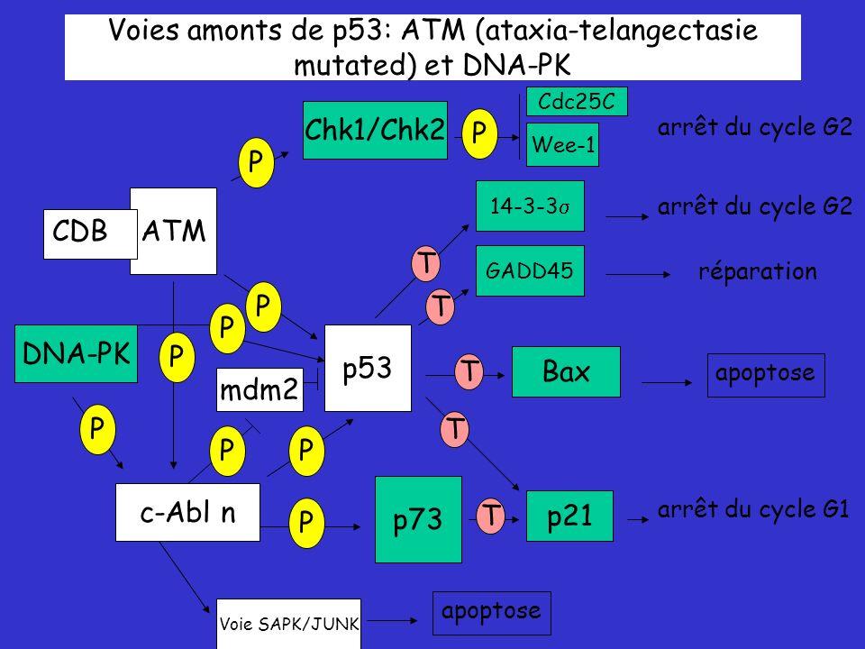 Voies amonts de p53: ATM (ataxia-telangectasie mutated) et DNA-PK ATM p53 p73 Chk1/Chk2 c-Abl n P P P P P Bax DNA-PK P p21 GADD45 14-3-3 T T T T T arrêt du cycle G2 apoptose réparation arrêt du cycle G2 arrêt du cycle G1 P Wee-1 Cdc25C Voie SAPK/JUNK mdm2 P apoptose P CDB