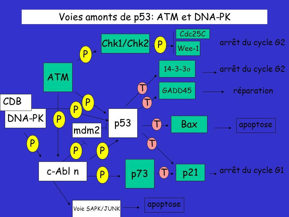 Voies amonts de p53: ATM et DNA-PK ATM p53 p73 Chk1/Chk2 c-Abl n P P P P P Bax DNA-PK P p21 GADD45 14-3-3 T T T T T arrêt du cycle G2 apoptose réparation arrêt du cycle G2 arrêt du cycle G1 P Wee-1 Cdc25C Voie SAPK/JUNK mdm2 P apoptose P CDB