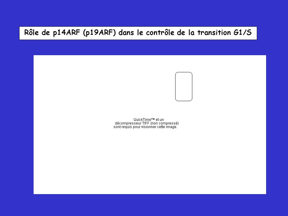 Rôle de p14ARF (p19ARF) dans le contrôle de la transition G1/S