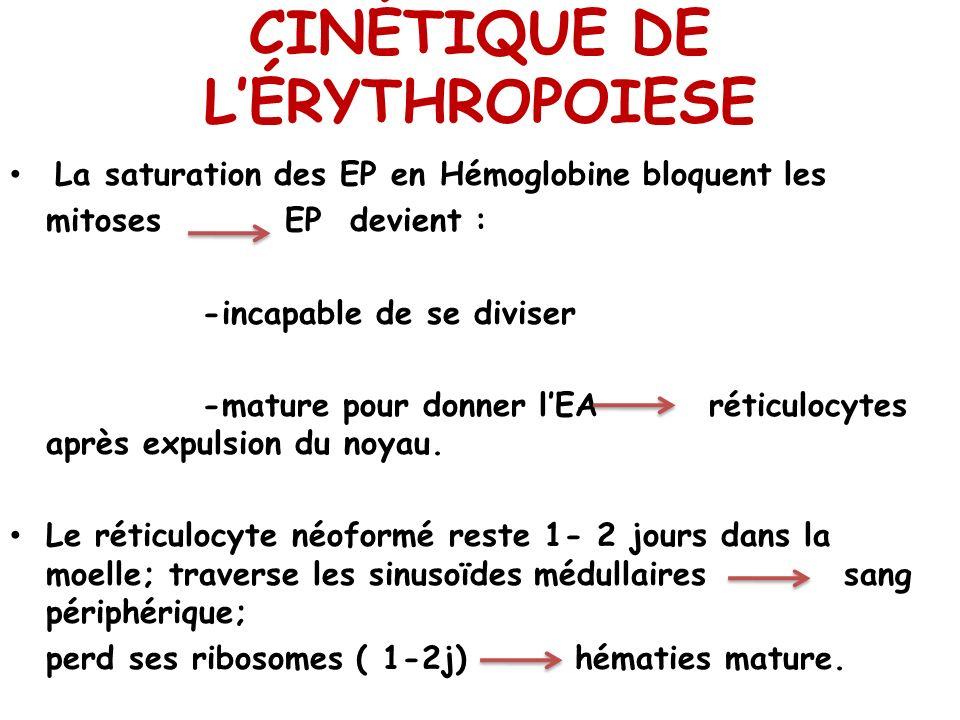 CINÉTIQUE DE LÉRYTHROPOIESE La saturation des EP en Hémoglobine bloquent les mitoses EP devient : -incapable de se diviser -mature pour donner lEA rét