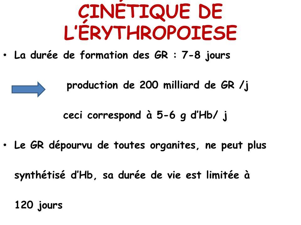 CINÉTIQUE DE LÉRYTHROPOIESE La durée de formation des GR : 7-8 jours production de 200 milliard de GR /j ceci correspond à 5-6 g dHb/ j Le GR dépourvu
