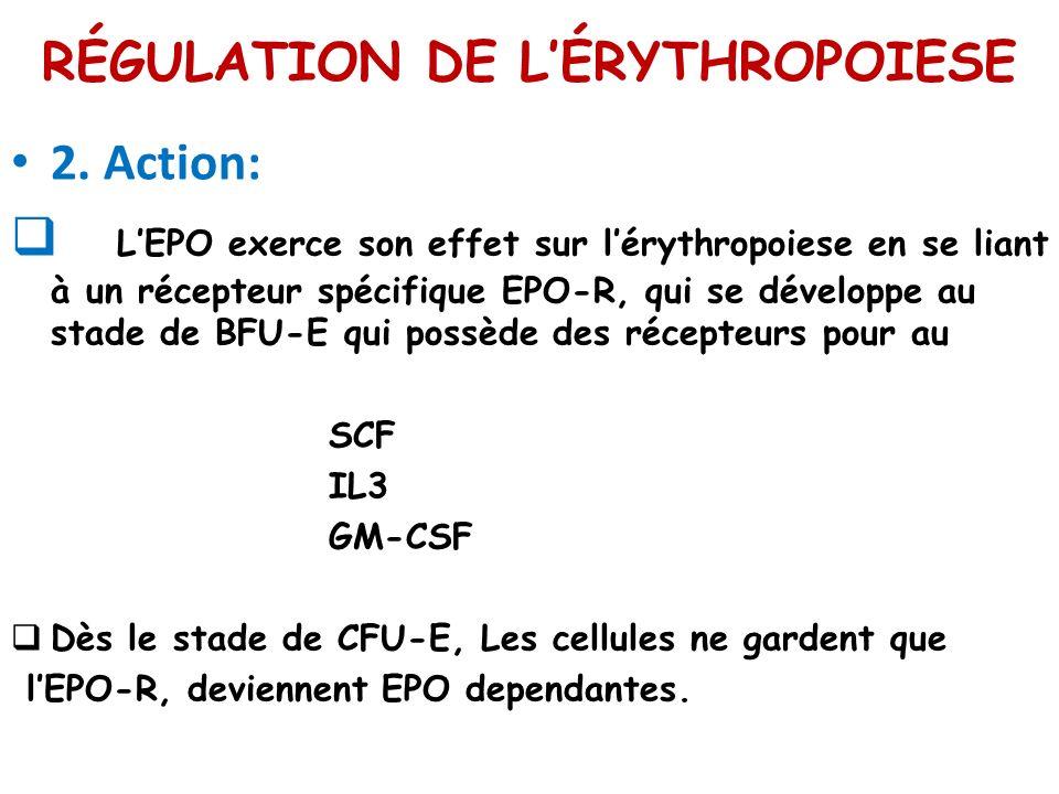 RÉGULATION DE LÉRYTHROPOIESE 2. Action: LEPO exerce son effet sur lérythropoiese en se liant à un récepteur spécifique EPO-R, qui se développe au stad