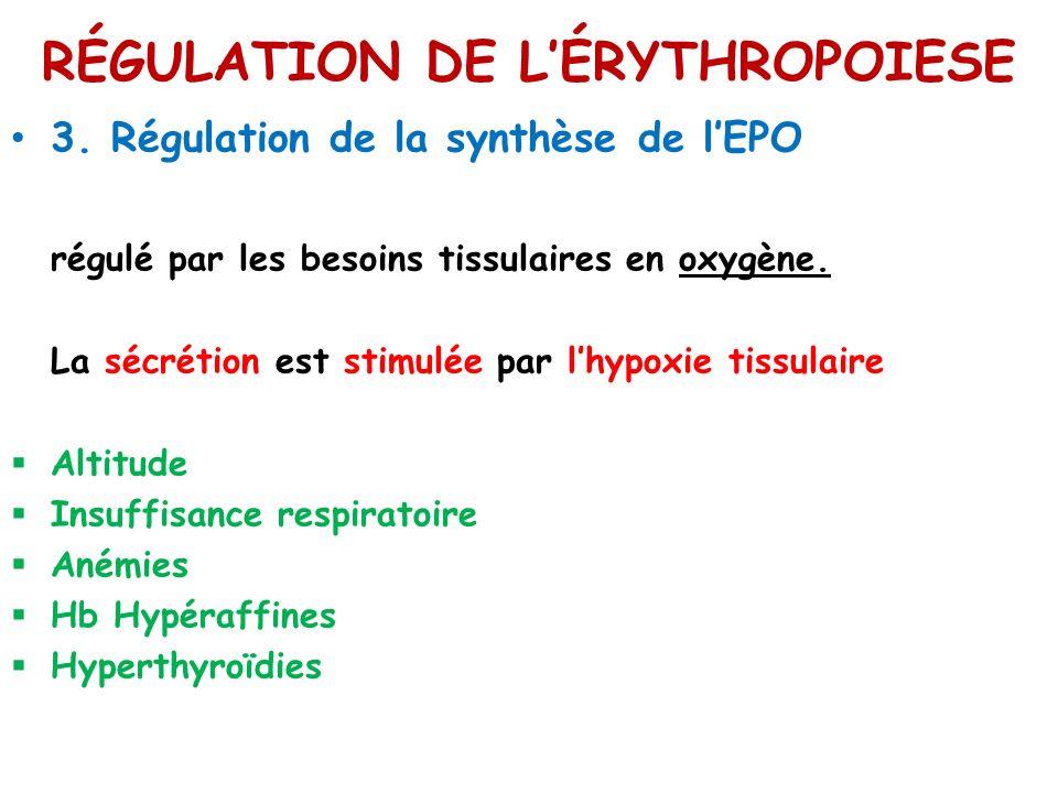 RÉGULATION DE LÉRYTHROPOIESE 3. Régulation de la synthèse de lEPO régulé par les besoins tissulaires en oxygène. La sécrétion est stimulée par lhypoxi