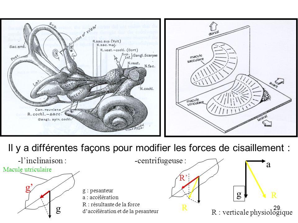 29 Il y a différentes façons pour modifier les forces de cisaillement : g R g a R : verticale physiologique g R a g R Macule utriculaire g : pesanteur