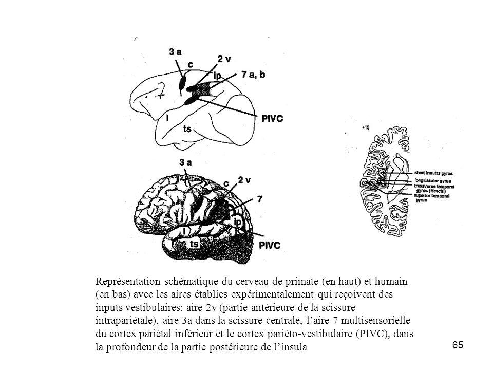 65 Représentation schématique du cerveau de primate (en haut) et humain (en bas) avec les aires établies expérimentalement qui reçoivent des inputs ve