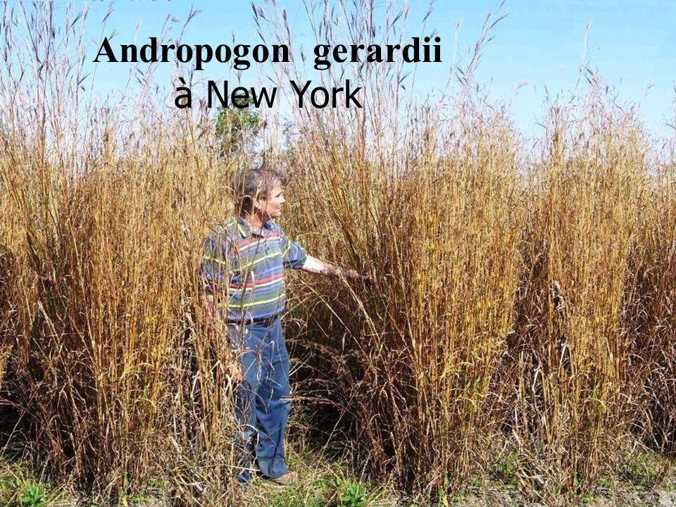 Andropogon gerardii à New York
