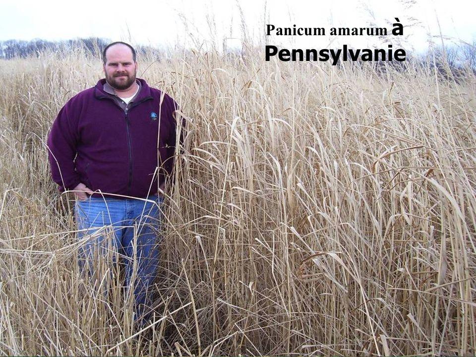 reap-canada.com Panicum amarum à Pennsylvanie