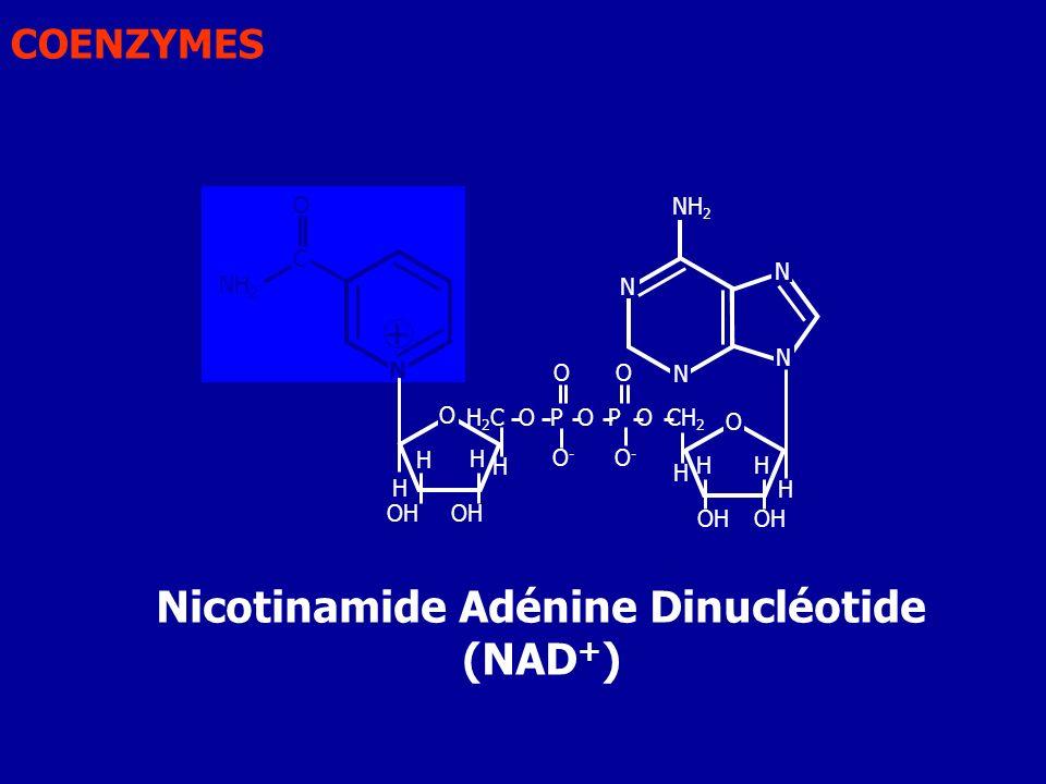 Nicotinamide Adénine Dinucléotide (NAD + ) N N N N O OH H H H H 2 C O P O P O CH 2 O O-O- H NH 2 O OH H H H H + C O NH 2 O O-O- N COENZYMES