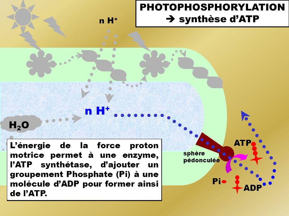 PHOTOPHOSPHORYLATION synthèse dATP n H + H2OH2O sphère pédonculée La membrane des thylakoïdes contient des sphères pédonculées, protéïnes canal qui pe