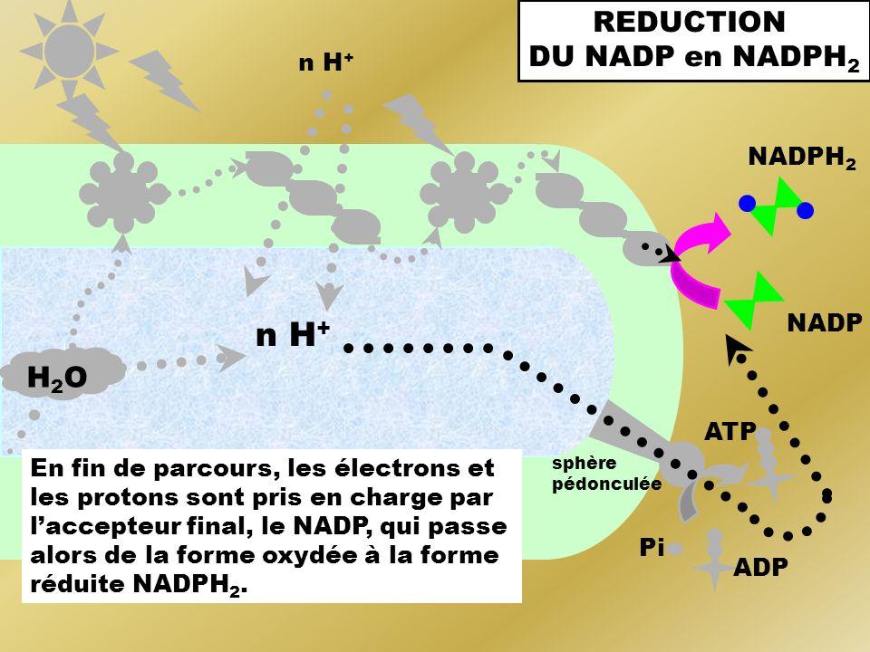 n H + ADP Pi H2OH2O sphère pédonculée ATP NADP NADPH 2 En fin de parcours, les électrons et les protons sont pris en charge par laccepteur final, le N