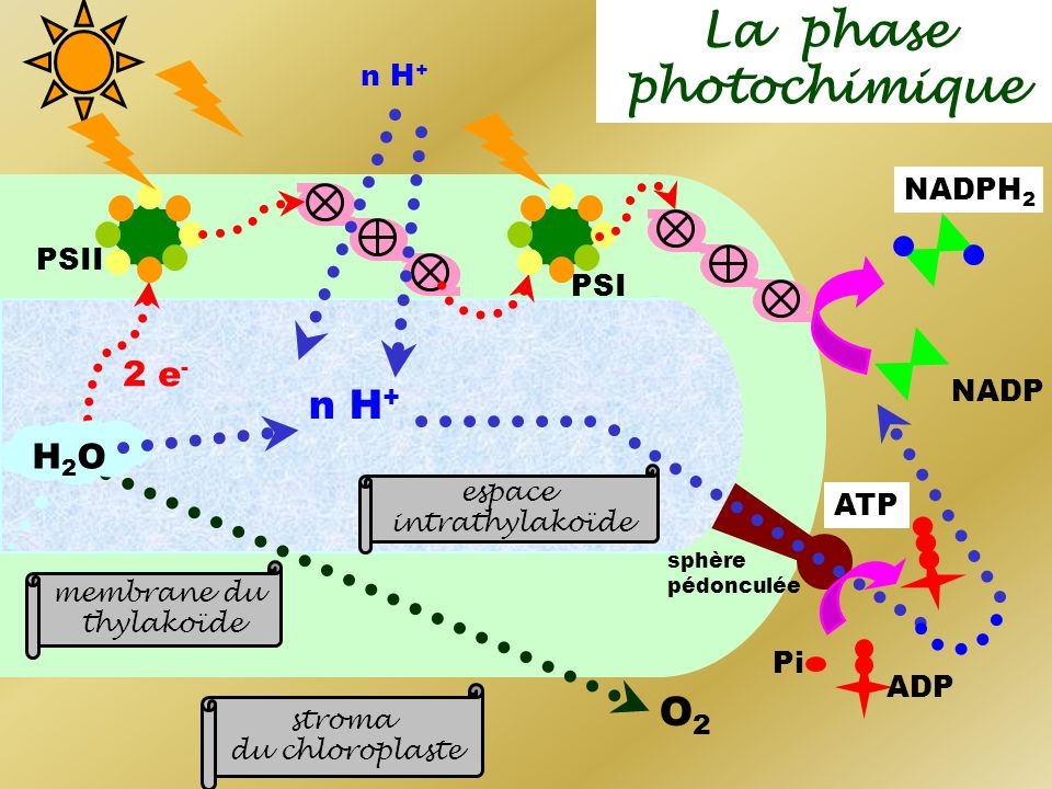 La phase photochimique 2 e - n H + O2O2 NADP NADPH 2 ADP Pi H2OH2O stroma du chloroplaste espace intrathylakoïde membrane du thylakoïde PSI PSII sphèr